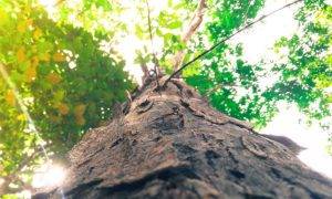 Photograph looking up the trunk of a tree